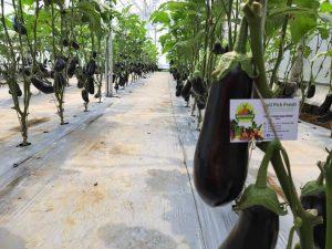 Black Beauty Eggplant / Terong Hitam