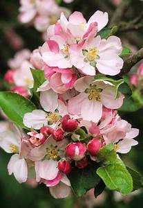 bunga apel